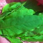 Liście szczawiu z spódnicy ;-)